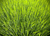 Abstract view of blooming rye. — Stock Photo