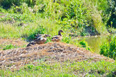Ducks near the pond — Photo