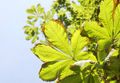 Chestnut leaves — Stock Photo