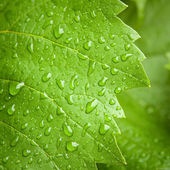Vine leaf in the rain — Stock Photo