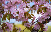 Pink abloom japanese cherry (sakura) blossom in sunny spring day. — Stock Photo