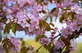 Pink abloom japanese cherry (sakura) blossom in sunny spring day. — Stock Photo
