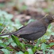 Stock Photo: Blackbird gathers grass for nest