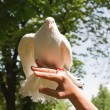 A white dove flies from the hand — Stock Photo