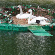 Pair of swans in nest — Stockfoto #10937549