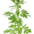 Wormwood - Stock Photo
