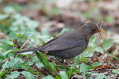 Blackbird gathers grass for the nest — Stock Photo