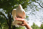 A white dove flies from the hand — Foto Stock