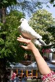 白鳩と女性の手 — ストック写真