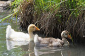 Chicks on the pond — Stock Photo