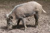 The wild pig — Stock Photo