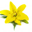 Yellow lily with fern leaf isolated on white background - Stock Photo