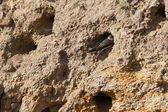 The nests of swallows in a sand quarry — Stock Photo