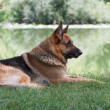 German Shepherd sitting by the lake - Stockfoto