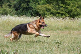 Training a German Shepherd — Stock Photo