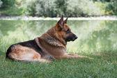 German Shepherd sitting by the lake — Stock Photo