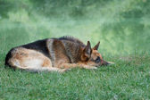 German shepherd lying on the shore of Lake — Stock Photo