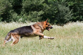 German Shepherd in the jump — Stock Photo