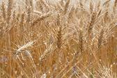 Durum wheat cultivar — Stock Photo