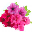 Bouquet of multicolored petunias isolated on white — Stock Photo