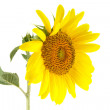 Sunflower and bud isolated on white background - Stock Photo