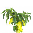 Stock Photo: Bush of yellow peppers isolated on white
