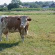 Brown cow in the pasture — Stock Photo #11716842