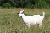White goat out to pasture — Stock Photo