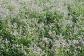 Field of Flowering Mint — Stock Photo