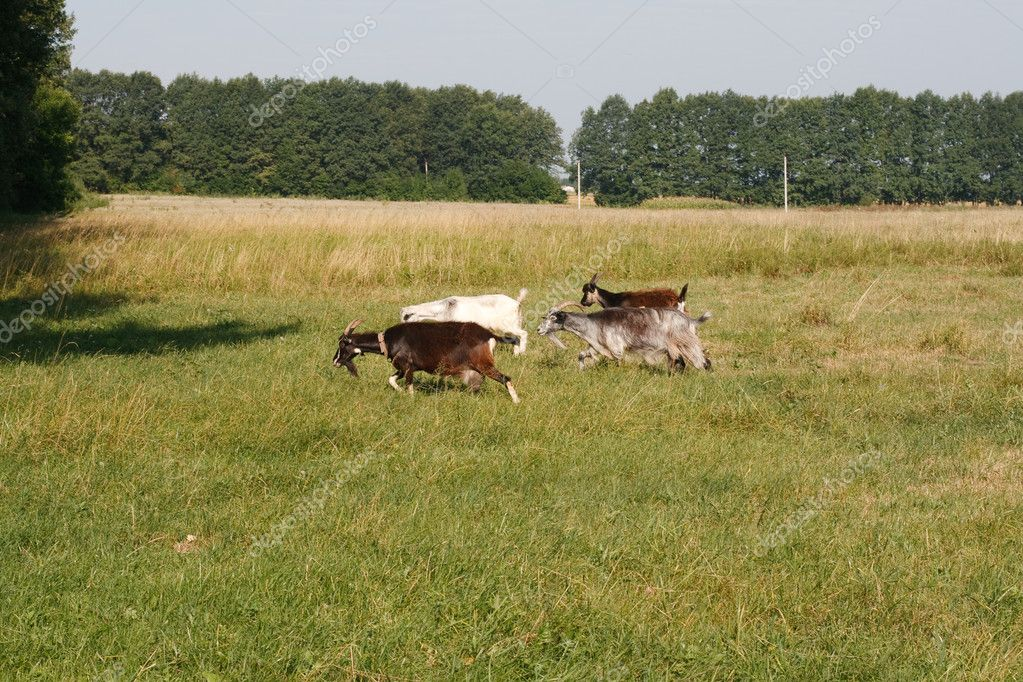 Goats are running on pasture  Photo #11716736