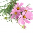Flowers cosmos isolated on white background — Stock Photo