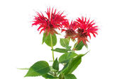 Monarda flower — Stock Photo