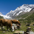 Stock Photo: Cows in Switzerland mountains