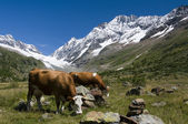 Cows in the Switzerland mountains — Stock Photo