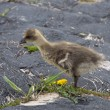 Stock Photo: Young goose