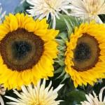 Yellow chrysanteum and sunflowers — Stock Photo