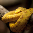 Eyelash viper in Costa Rica — Stock Photo