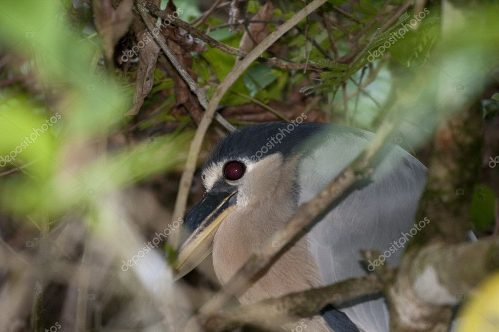 Boat billed heron in Tortuguero in Costa Rica — Stock Photo #11039455