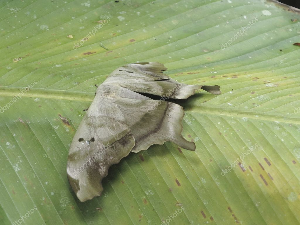 Huge grey moth on a leaf in the troipical rainforest of Costa Rica  Stock Photo #11039598
