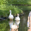 Two white geese in pond - Stock Photo