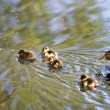 Small ducklings — Stock Photo