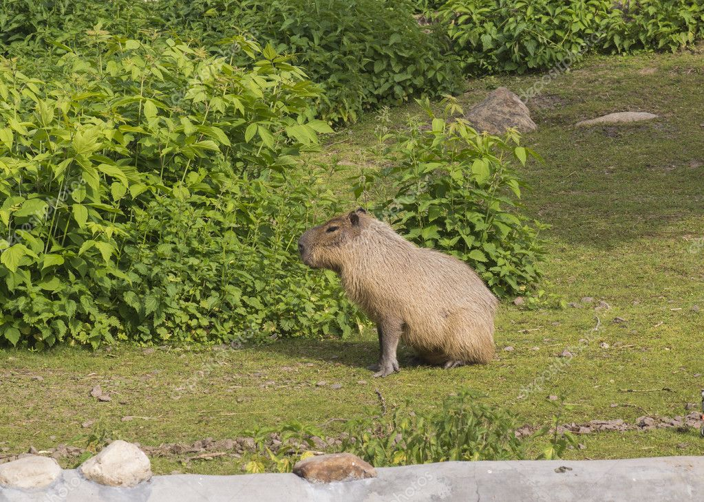 Capybara — Stock Photo #11112881