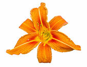 Orange daylily — Stock Photo