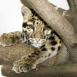 Stock Photo: Clouded leopard
