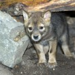 Golden jackal puppy - Stock Photo