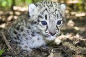 Snow leopard cub — ストック写真