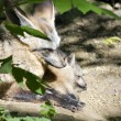 Bat-eared foxes - Stock Photo