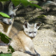 Bat-eared fox pups — Stock Photo