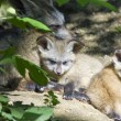 Bat-eared fox pups - Stock Photo