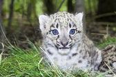 Snow leopard cub — Foto de Stock